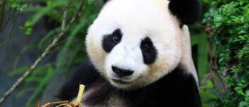 Nesli Tükenmiş Hayvanlar Panda